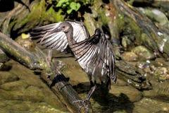 Glansig ibis, Plegadis falcinellus i en tysk zoo arkivbilder