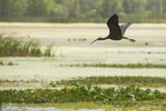 Glansig ibis som flyger över ett träsk i jul, Florida Arkivfoton