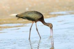 Glansig ibis som matar på grunt vatten för sjö Arkivfoton