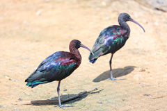 Glansig ibis två (den Plegadis falcinellusen) Arkivfoto