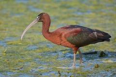Glansig ibisPlegadis falcinellus Arkivfoto