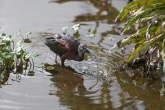 Glansig ibisvadande Fotografering för Bildbyråer