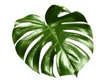 glansig leafmonstera Arkivfoton