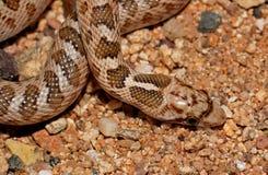 glansig orm Arkivfoton