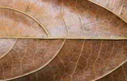 Glansig torr bladcloseup Foto för makro för höstbladtextur Gul bladådermodell Arkivbild