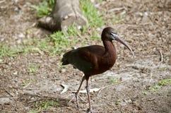 glansiga ibis Arkivbilder