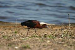 glansiga ibis Royaltyfri Fotografi