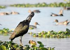 glansiga ibis fotografering för bildbyråer