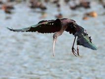 glansiga ibis Royaltyfria Bilder