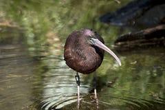 glansiga ibis Arkivbild