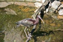 glansiga ibis Royaltyfri Bild