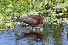 glansiga ibis för falcinellus plegadis Royaltyfria Foton