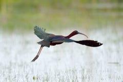 glansiga ibis för falcinellus plegadis Arkivfoto