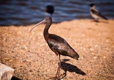 glansiga ibis för falcinellus plegadis Royaltyfri Fotografi