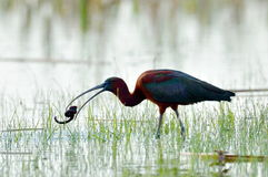 glansiga ibis för falcinellus plegadis Arkivfoton