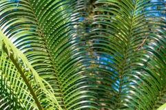 Glansiga palmblad Arkivbilder