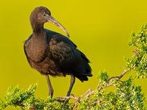 Glansigt ibisanseende i ett träd royaltyfri fotografi