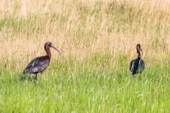 Glansowanego ibisa Plegadis falcinellus Brodzący ptak w Naturalnym siedlisku obrazy stock