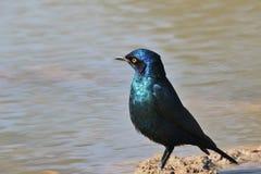 Glansowanego szpaczka Afrykańscy dzicy ptaki - Błękitny i Purpurowy tła piękno - Obraz Stock