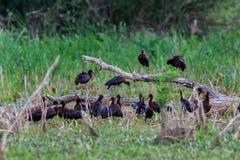 Glansowany ibisów plegadis falcinellus w naturalnym siedlisku zdjęcie royalty free