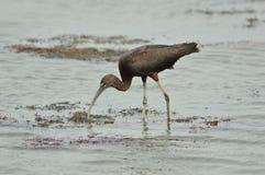 Glansowany ibis dzióbać przez wody fotografia stock