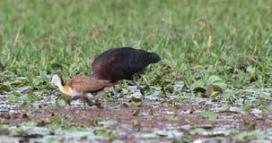 Glansowany ibisa karmienie zbiory