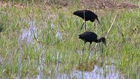 Glansowany ibisa Plegadis falcinellus odprowadzenie i polowanie na bagna zdjęcie wideo