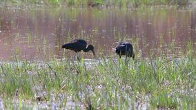 Glansowany ibisa Plegadis falcinellus odprowadzenie i polowanie na bagna zbiory