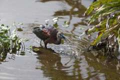 Glansowany ibisa Watować Obraz Stock