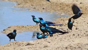 Glansowany szpaczek - błękita i purpur połysk od Afrykańskich ptaków światło Zdjęcia Royalty Free