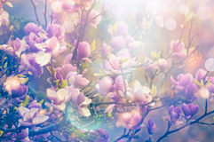 Glanst de bloeiende tuin van de magnolialente, vage aardachtergrond met zon en bokeh stock foto's