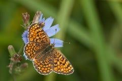 Glanville Fritillary butterfly (Melitaea cinxia). Glanville Fritillary butterfly on a blue flower (Melitaea cinxia Stock Photo