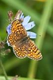 Glanville Fritillary butterfly (Melitaea cinxia). On a blue flower Royalty Free Stock Photography