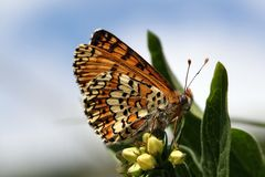 Glanville Fritillary Royalty Free Stock Photos