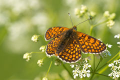 Glanville Fritillary Royalty Free Stock Photography