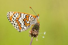Glanville Fritillary Royalty Free Stock Images