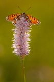 Glanville Fritillary royalty free stock photo
