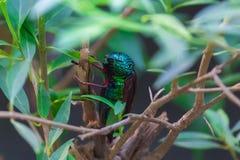 Glanzend juweelinsect Royalty-vrije Stock Afbeeldingen