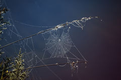 Glanzend spinneweb Stock Afbeeldingen