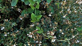 Glanzende Amelia Plant royalty-vrije stock fotografie