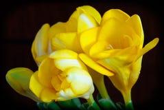 Glanzende gele fresia op een donkere achtergrond stock afbeelding