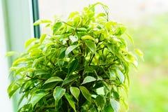 Glanzende groene bladeren van een ficus van Benjamin Stock Foto's