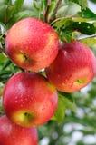 Glanzende heerlijke appelen Royalty-vrije Stock Foto's