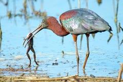Glanzende Ibis stock afbeelding