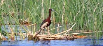 Glanzende Ibis stock afbeeldingen