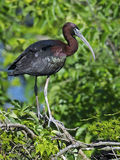 Glanzende Ibis Royalty-vrije Stock Afbeelding