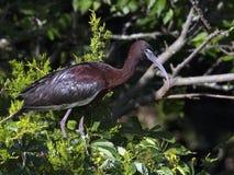 Glanzende Ibis in boom royalty-vrije stock fotografie