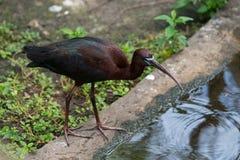 Glanzende Ibis die (Plegadis-falcinellus) zich dichtbij water bevinden stock afbeelding