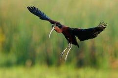 Glanzende Ibis (falcinellus Plegadis) Stock Afbeeldingen