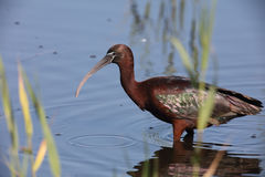Glanzende ibis in moeras Royalty-vrije Stock Foto
